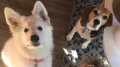 P'Lilou et son copain beagle juin19 (nina x aro)
