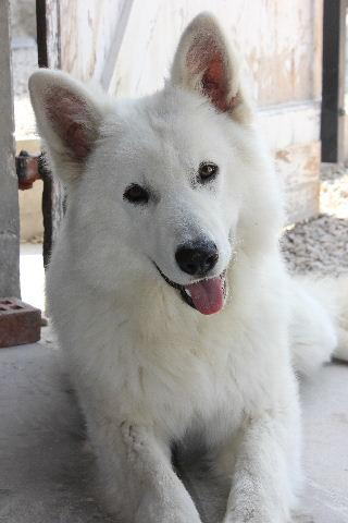 chiens-berger-blanc-suisse-0fbf5c60-da56-1b64-9d8f-5f6b4cdc5470.jpg